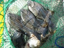 北港魚釣り公園 グレの釣果出てます