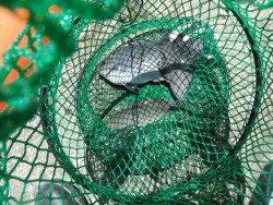 和歌山北港魚つり公園 グレとサンバソウの釣果