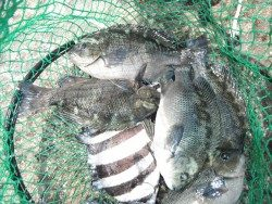 北港釣り光線 グレ・サンバソウ・カンダイの釣果