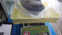田辺天神崎 ヤエン釣りでアオリイカ1.76kg