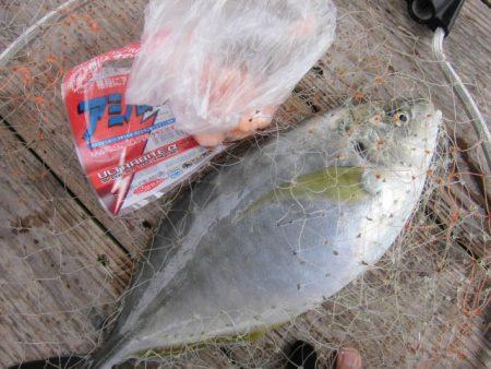 田尻の海上釣堀で真鯛、青物三昧