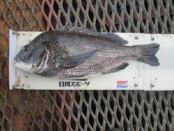 尼崎市立魚つり公園 チヌの活性高いです!