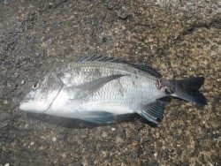 ナイスサイズのチヌ!和歌山北港魚つり公園