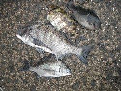 和歌山北港魚つり公園 チヌ好調