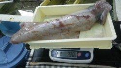 白浜袋の地磯 ヤエン釣りでアオリイカ3.2kg!!