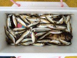 マリーナシティ海釣り公園 サビキで豆アジ大漁です