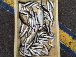 マリーナシティ海釣り公園でファミリーサビキ&のませ