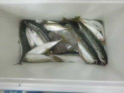 大阪南港海釣り公園 サバ、アジ、サッパの数釣り