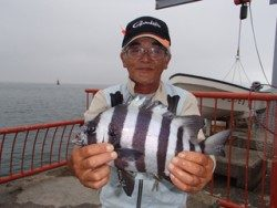 平磯海づり公園 投げ釣りでイシダイ31cm