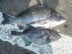 和歌山北港魚つり公園 チヌ、ウマヅラ