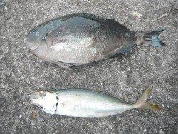 和歌山北港魚つり公園 グレ、アジ良型