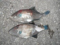 北港魚釣り公園 ウマヅラハギ34・35cmの釣果