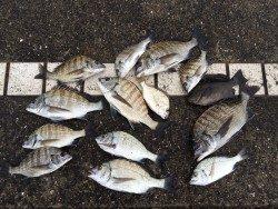 紀州釣りでチヌ大漁!