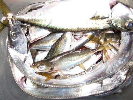 太刀魚、サバ、アジ、イワシ。