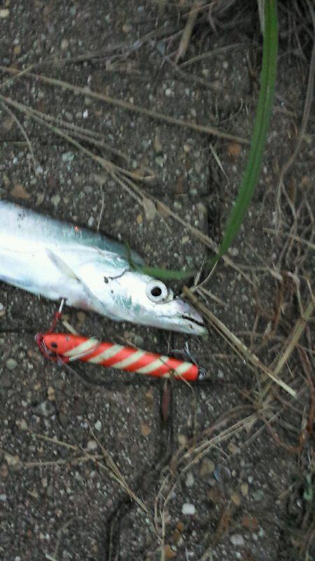 神戸空港の太刀魚