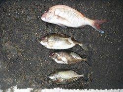 北港海釣り公園 マダイ・アイゴの釣果