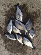 和歌山マリーナシティ海洋釣り堀 紀州釣りでチヌ