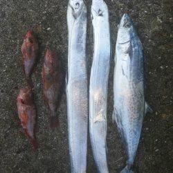 太刀魚、サゴシGET!!