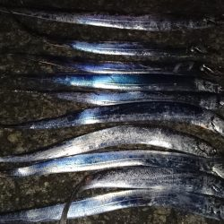 市内湾奥太刀魚狩り