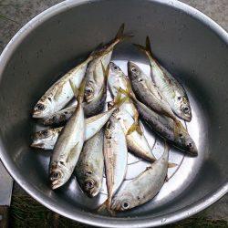 サビキ釣りでアジ、イワシ釣れました