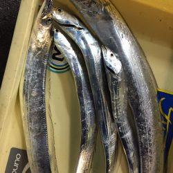武庫川初太刀魚