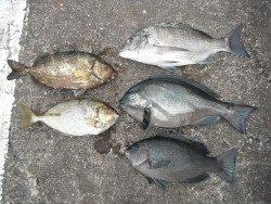 和歌山北港魚つり公園 チヌ、グレ、アイゴ