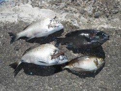 和歌山北港魚つり公園 チヌ・グレ・アイゴの釣果