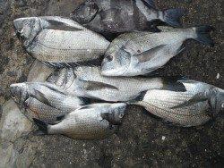 和歌山北港魚つり公園 チヌ、サンバソウ
