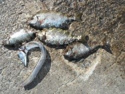 和歌山北港魚つり公園 アイゴ、タチウオ