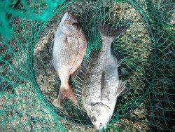 和歌山北港魚つり公園 マダイ、チヌ
