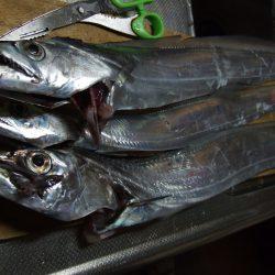 今年最大の太刀魚!