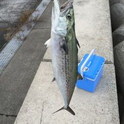 朝マヅメにサゴシ、太刀魚