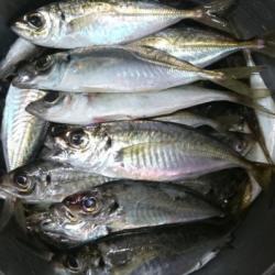 太刀魚からのアジング