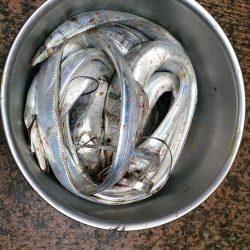 大津川尻高場にてウキ釣りで太刀魚8本get