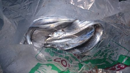 大津川尻高場にて太刀魚3匹