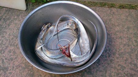 大津川尻高場にてウキ釣りで太刀魚3本get