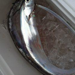 夕まずめ 太刀魚