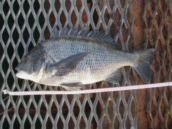 尼崎市立魚つり公園 チヌ良型も出てます★