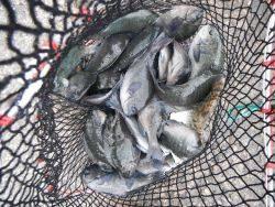 和歌山北港魚つり公園 グレ、カワハギ、アイゴ