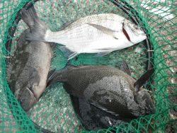 和歌山北港魚つり公園 カゴ釣りでチヌ・グレ