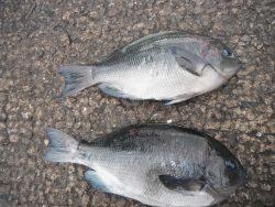 和歌山北港魚つり公園 グレ