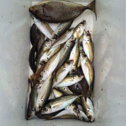 マリーナシティ海釣り公園 サビキでアジの釣果