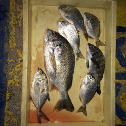 マリーナシティ海釣り公園 紀州釣りでキビレ・ヘダイ・メッキ