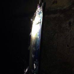 メバリングで太刀魚!