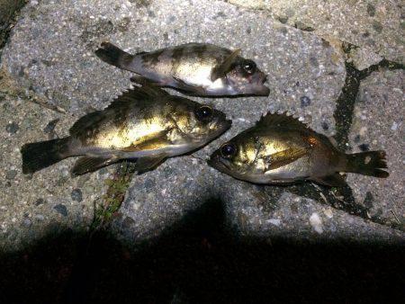 太刀魚、メバル