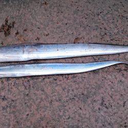 今年初釣りで太刀魚2匹GET