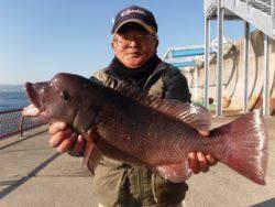 平磯海釣り公園 投げ釣りでコブダイ52cm