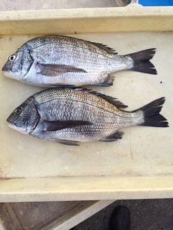 和歌山マリーナシティ海釣り公園 オキアミボイルでチヌの釣果