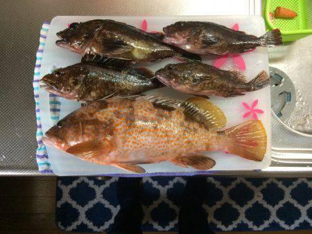 久行の釣行でアコウゲット