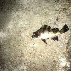 メバル夜釣り